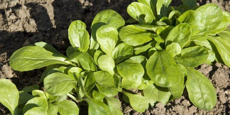 Mâche verte de Cambrai pour des salades