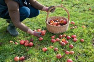 Ramasser pommes au jardin