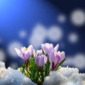 Neige au jardin - Fleur