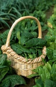 Panier d épinard Géant d hiver au potager, légume