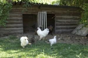 Poulailler, poule soie