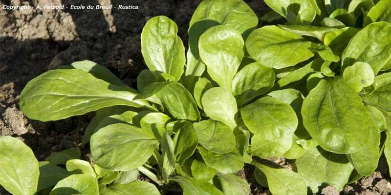 Récolte tardive du potager