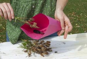 Récolte de graines d ancolie des alpes