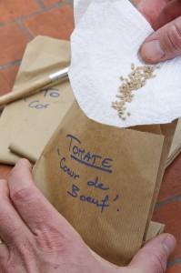 Récolte de graines de tomate. Conserver dans un sachet en papier.
