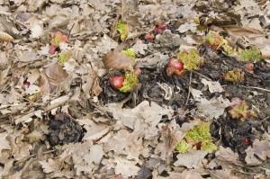 Paillis de feuilles mortes sur un pied de rhubarbe