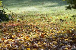 Scène de jardin en automne avec feuilles mortes sur la pelouse.
