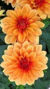 Dahlia floraison estivale et automnale