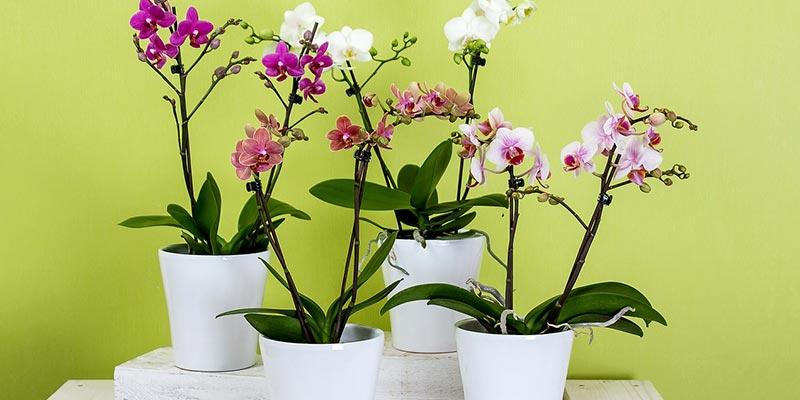 Entretenir et prendre soin d'une orchidée