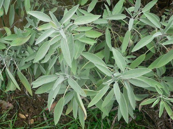 remèdes naturels au jardin sauge