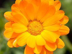 remèdes naturels au jardin souci