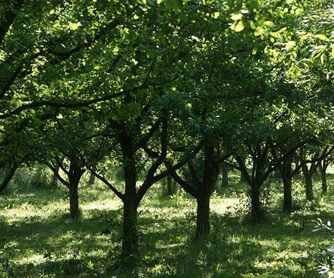 La taille de ses arbres fruitiers