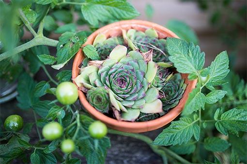 les-plantes-succulentes-pour-le-jardin