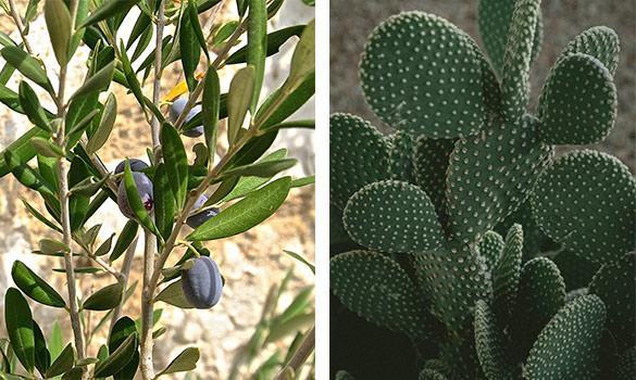 Aménager sa terrasse avec un olivier et des cactus