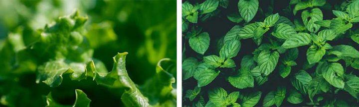 Salade et menthe du potager