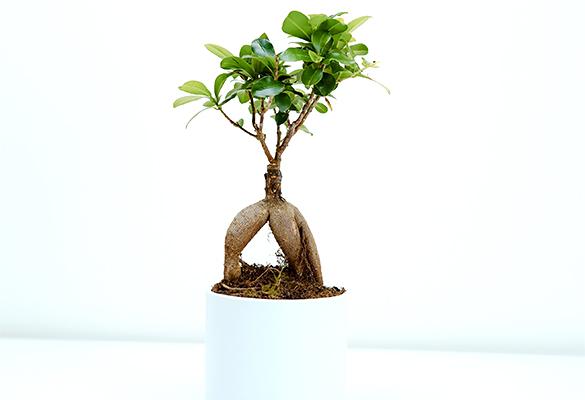 Bonsaï Ficus Ginseng