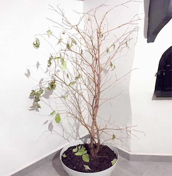 Ficus benjamina après la chute de ses feuilles