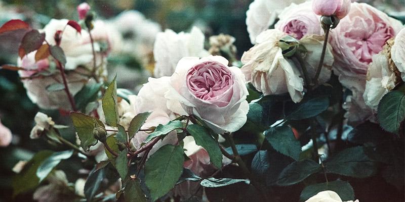 Taille des rosier